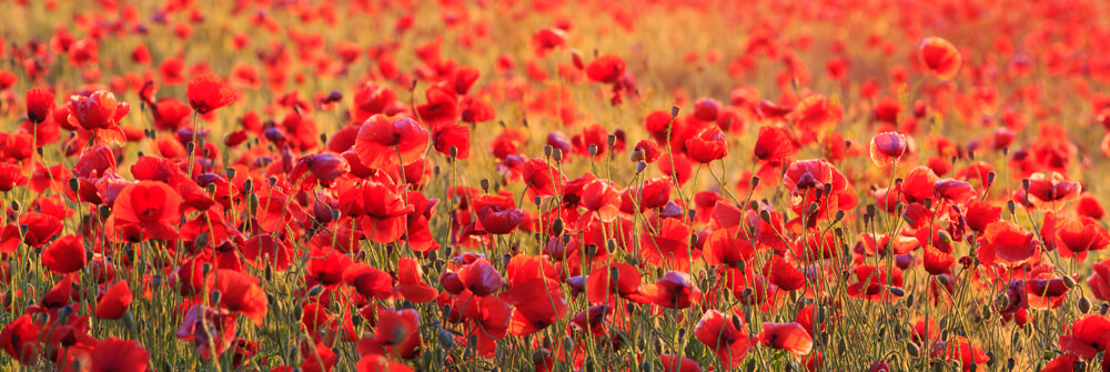 Wallpaper with poppies