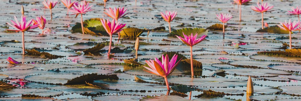 Photo wallpaper with lotus flowers
