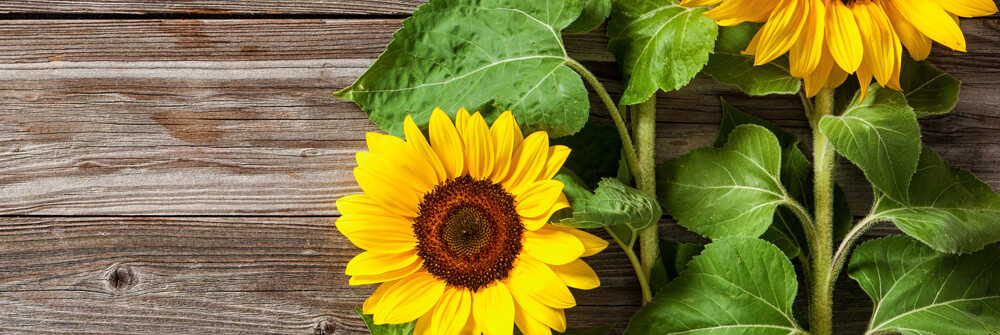 Photo Wallpaper with Sunflowers