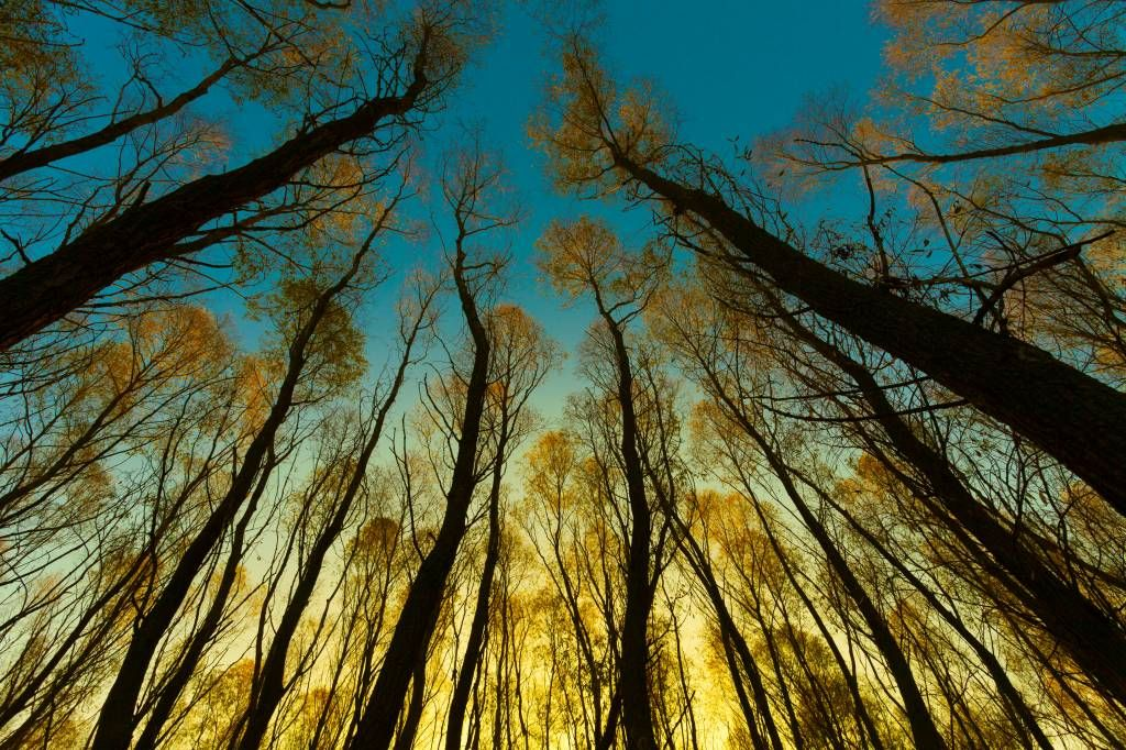 Forest wallpaper - Sunrise between tall trees - Bedroom