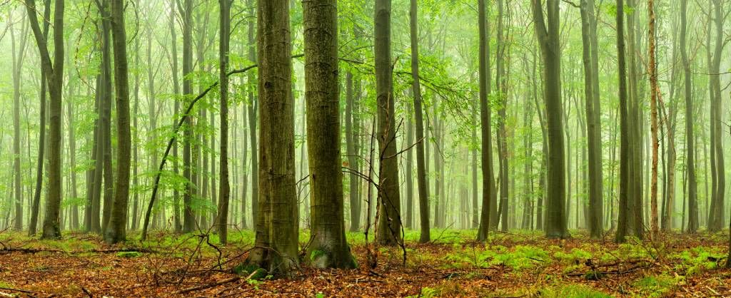 Forest wallpaper - Forest of beech trees - Conference room