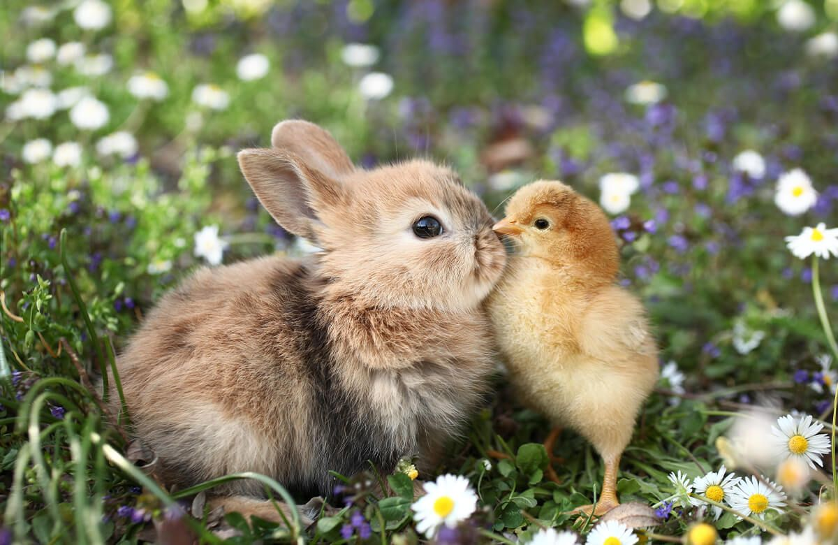 Wallpaper Rabbit and chick