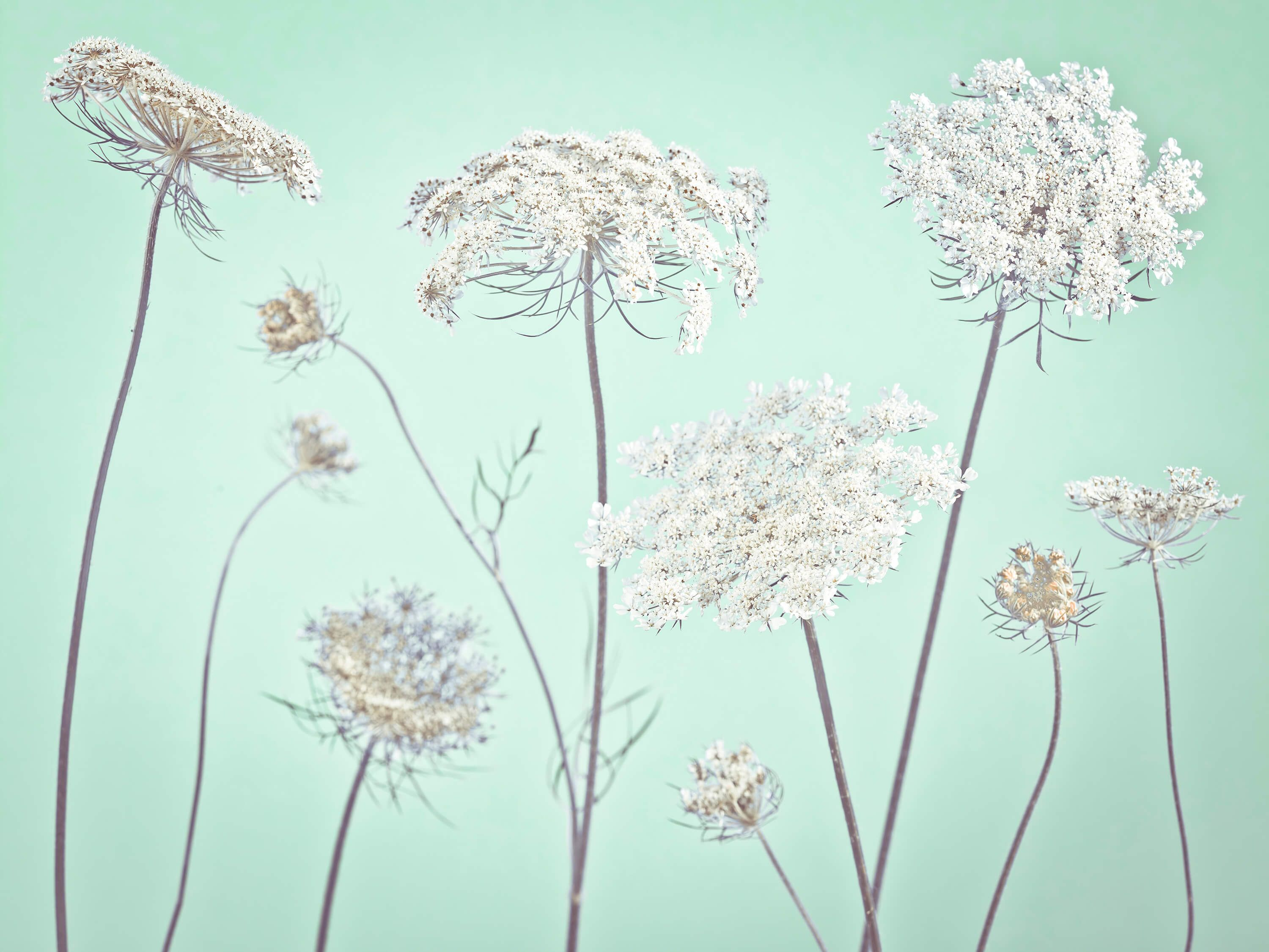 Cow parsley, green