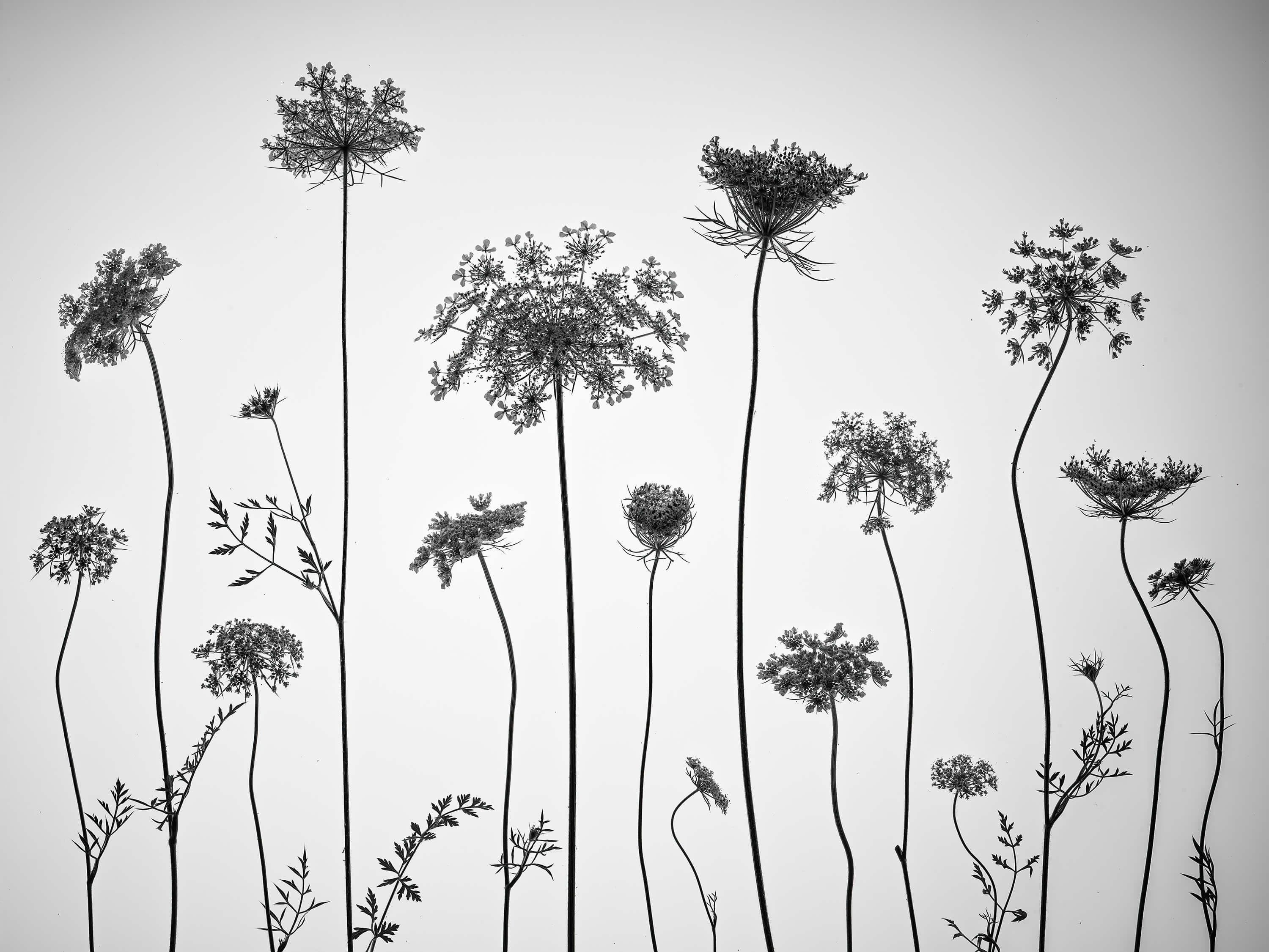 Cow parsley in black and white