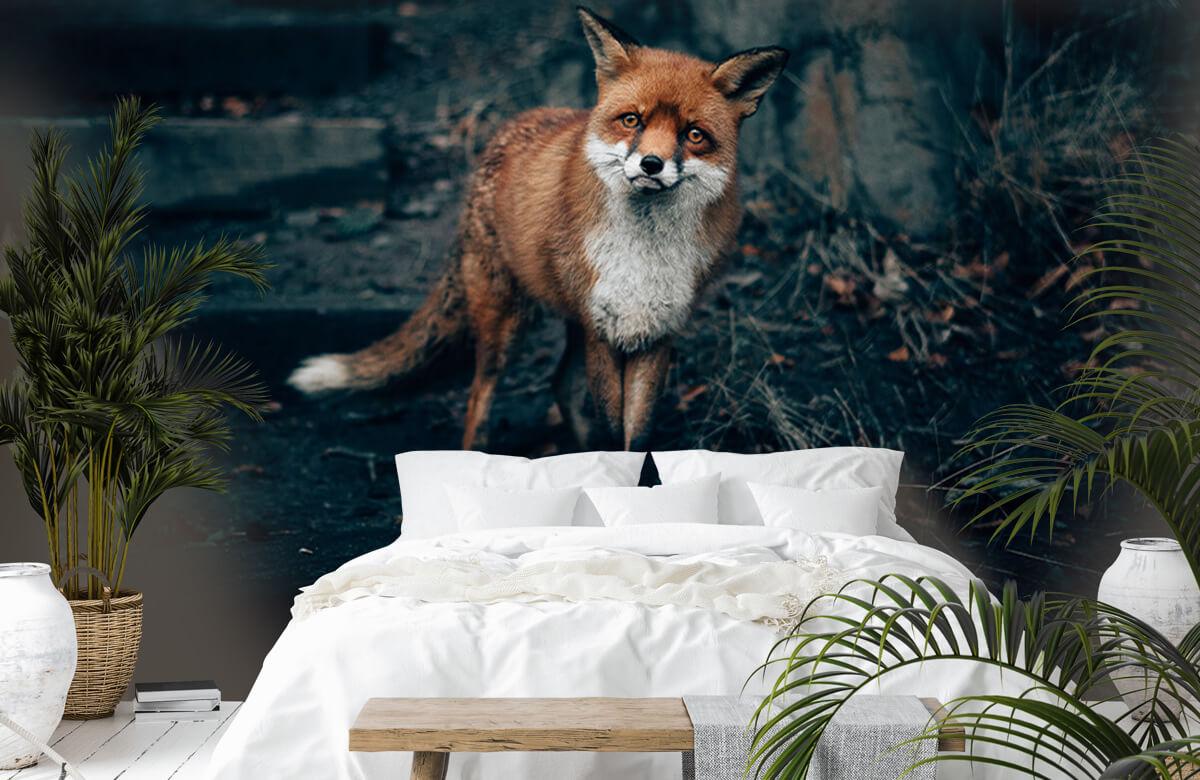 Wallpaper Curious fox 7