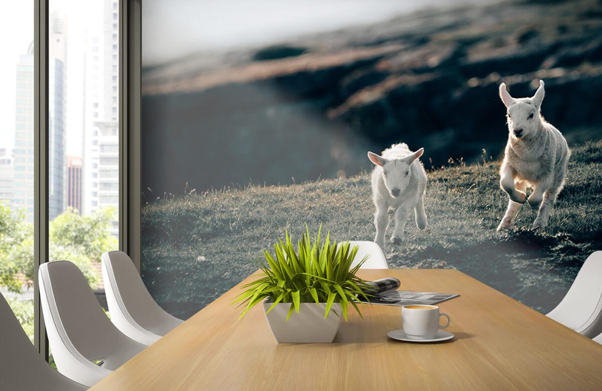 Wallpaper Lambs playing 7