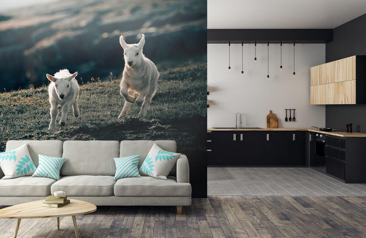 Wallpaper Lambs playing 3