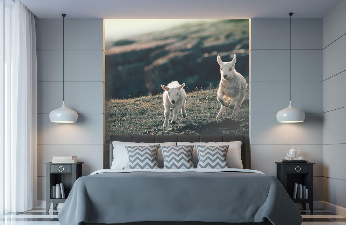 Wallpaper Lambs playing 11
