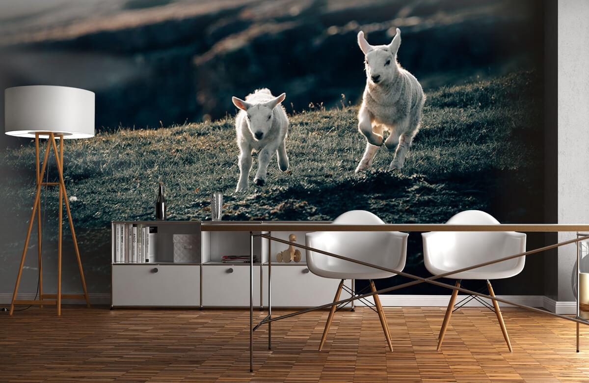 Wallpaper Lambs playing 2